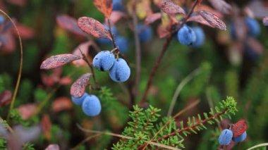 Autumn, tundra, berries — Stock Video