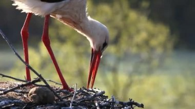 Cigognes construisent le nid — Vidéo