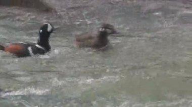 Harlequin Duck — Stock Video