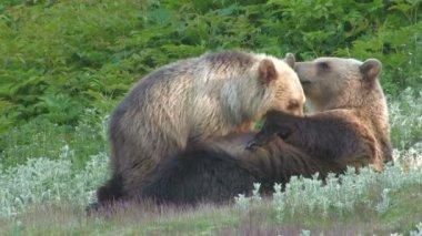 Bear cub drink milk — Stock Video