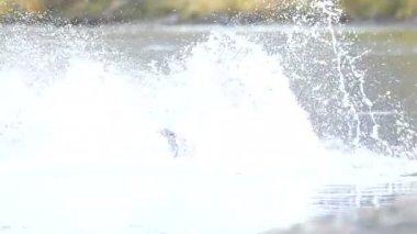 Brown bear fishing — Stock Video