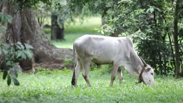 Vaca asiático — Vídeo de stock