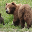 She-bear and bear cubs. — Stockvideo