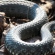 Grass Snake (Natrix Natrix) resting in the warmth — Stock Video