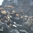 Stock video: Sea Lion