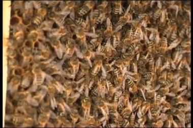 Swarm of bees — Stock Video