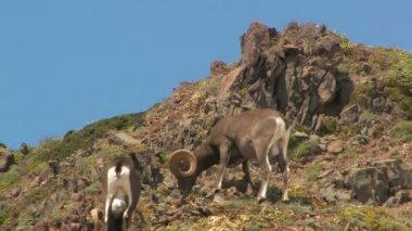 Rocky Mountain Bighorn Sheep — Stock Video
