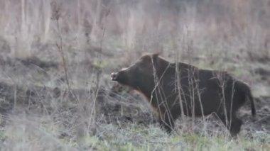 Wild boar — Stock Video