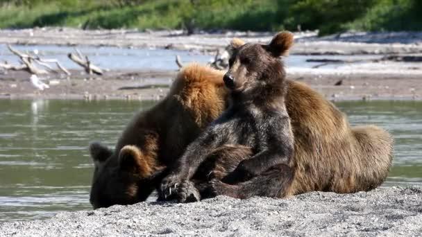 Cachorro de oso feliz — Vídeo de stock