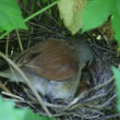 Ouzel, baby birds, nest - Foto de Stock