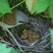Ouzel, baby birds, nest - Stock Photo