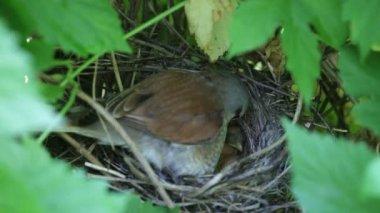 Ouzel, baby birds, nest — Stock Video