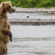 The brown bear fishes — Stock Photo #25069393