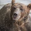 The brown bear fishes — Stock Photo #25071949
