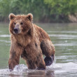 Brown bear fishes — Stock Photo #25071991
