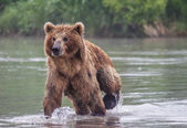 The brown bear fishes — Stock Photo