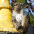 Stock Video: Monkey. Nepal.