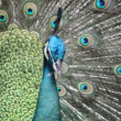 Peacock — Stock Video #25429513