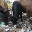 Cow eating rubbish. — Stock Video #25429573
