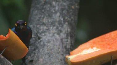 Tropical bird eating fruit — Wideo stockowe