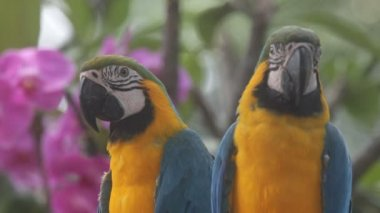 Parrots — Stock Video