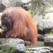 Stock Video: Orangutan