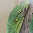 Lizard. Close up. - Stock Photo