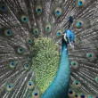 Peacock — Stock Video #25430191