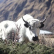 Stock Video: Tibetan Yak