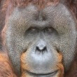 Stock Video: Orang Utan