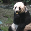 Stock Video: Cute panda
