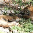 Red fox in the wildlife (Vulpes vulpes) — Stock Video