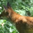 Red fox in the wildlife (Vulpes vulpes) — Stock Video #25432401