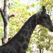 Giraffe — Stock Video