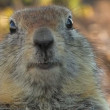 Stock Video: Portrait of a gopher