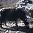 Tibetan Yak — Stock Video
