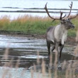 Stock Video: Reindeer