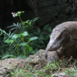Komodo dragon — Stock Video