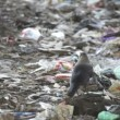 Birds on the landfill — Stock Video