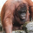 The Orang Utan — Stok video
