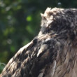 Stock Video: Owl portrait