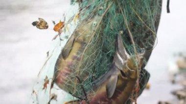 Fish in net — Stock Video