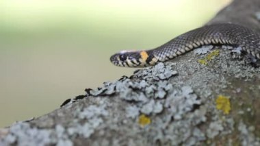 Grass Snake (Natrix Natrix) resting in the warmth — Stock Video