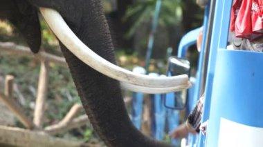 Olifant in thailand — Stockvideo