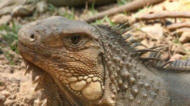 Iguana — Stock Video