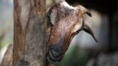 Cabra, retrato. — Vídeo stock