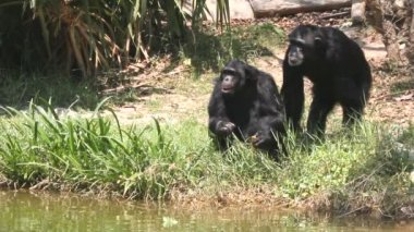 Chimpanzee in captivity — Stock Video