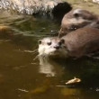 River otter — Stock Video