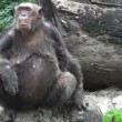 Chimpanzee in captivity — Stock Video