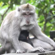 Monkeys, Indonesia. — Stock Video